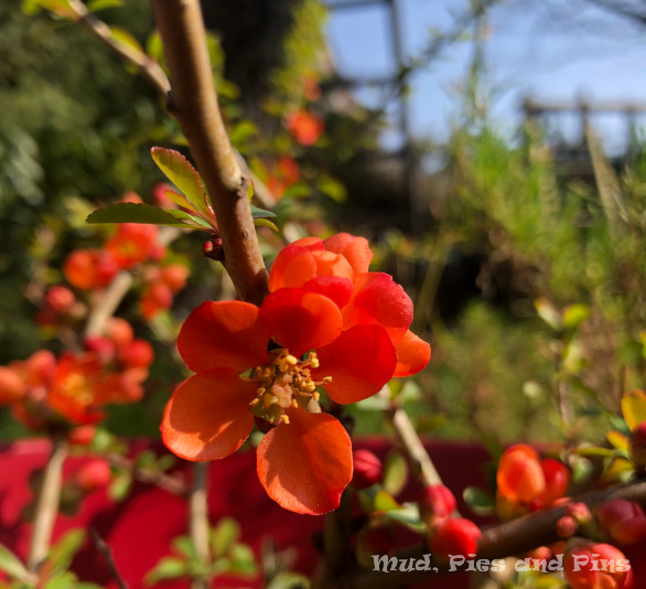 Japenese quince in flower | Mud, pies and Pins